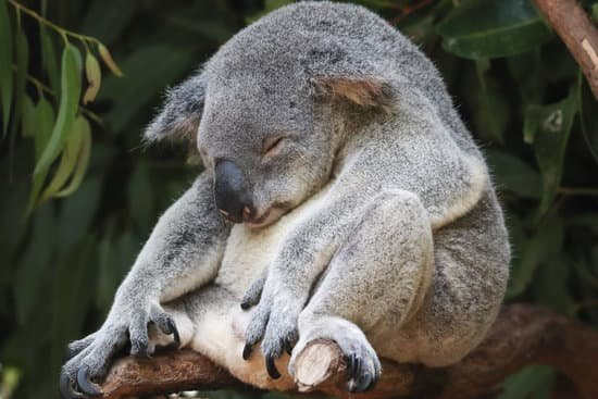 A koala being lazy on some vines representing laissez-faire leadership style