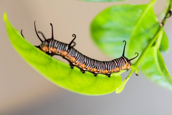 Caterpillar representing early stages of transformation