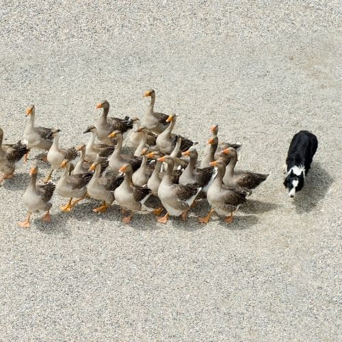 Image of a dog herding geese from behind.
