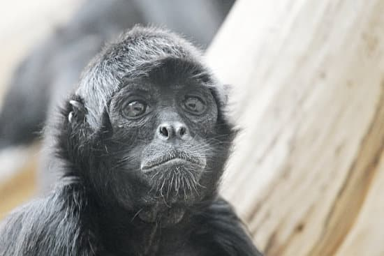 Image of a monkey with a confused look representing a confused leader, supervisor, boss, manager for leadership myths section.