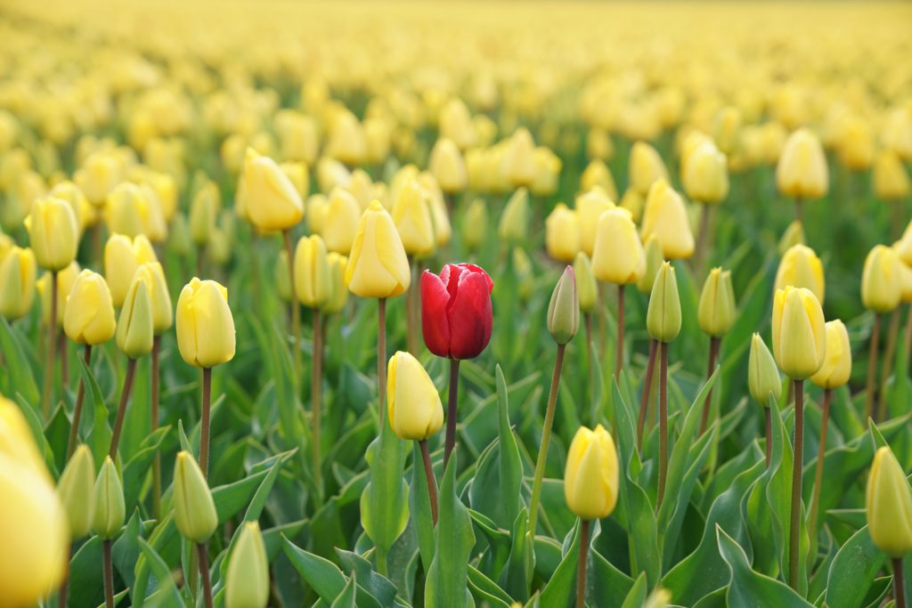 Image of one red rose in a field of yellow roses representing the individuality of each employee.  The first of the employee engagement tactics.